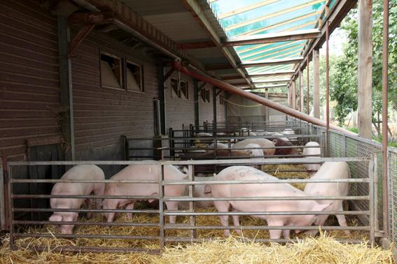 Schweine_Stall_Auslauf.png