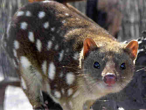 Spotted Quoll